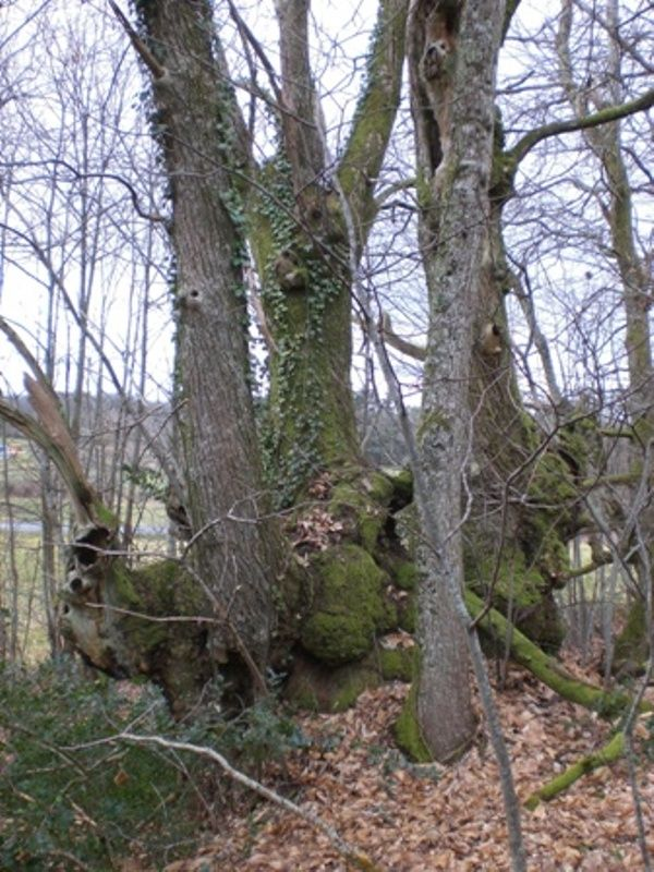 The chestnut tree of Le Seuil