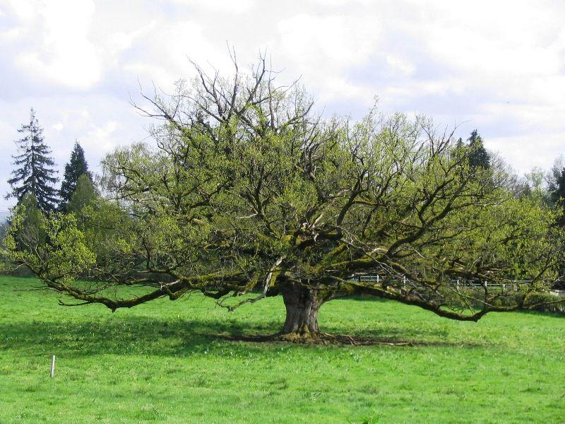 Le chêne des Gâches