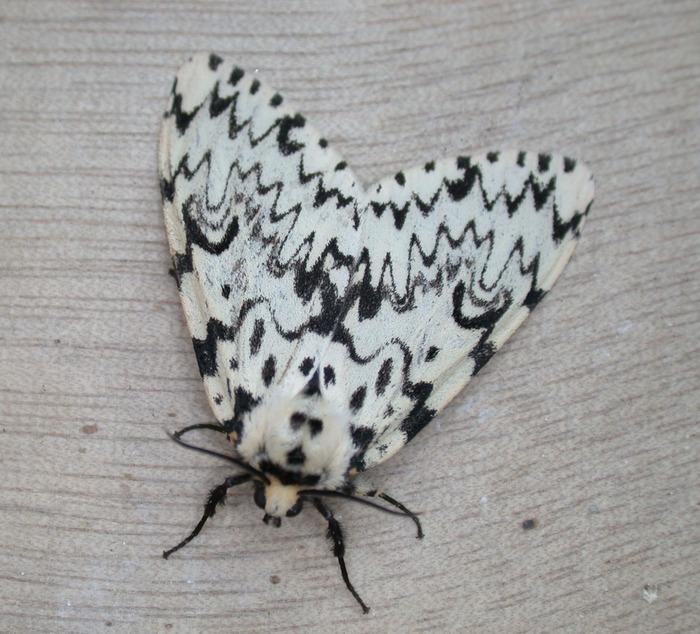 Papillonade de nuit - VELLECHES